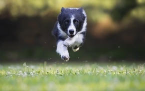 dog, Border Collie, jumping