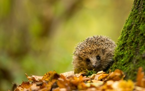 leaves, moss, hedgehog, depth of field, animals, nature