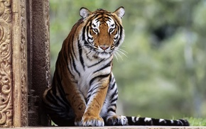 big cats, animals, nature, tiger