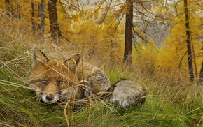 nature, fox, animals