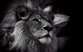 lion, animals, monochrome, nature