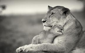 nature, lion, monochrome