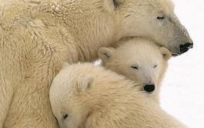 polar bears, animals