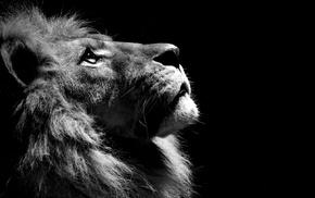 lion, monochrome
