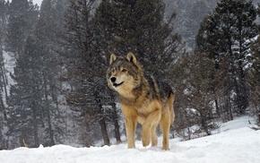 animals, snow, nature, forest, winter, wolf