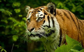 nature, tiger, big cats, animals
