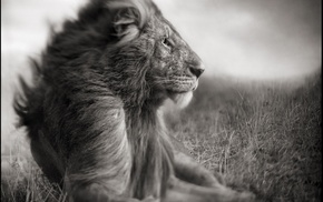 nature, Love Love Life, love, lion, monochrome