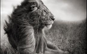 nature, Love Love Life, love, lion, monochrome