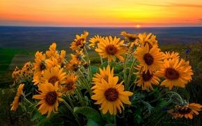 nature, sunset, sunflowers