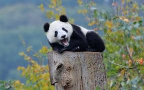 panda, baby animals, nature, bears