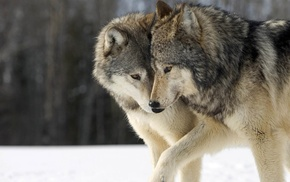 animals, happy, wolf