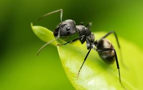 Camponotus, hymenoptera, insect, animals, macro, ants