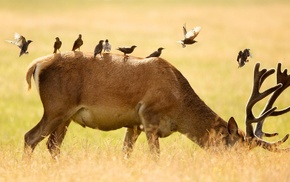 depth of field, animals, birds, field, grass, deer