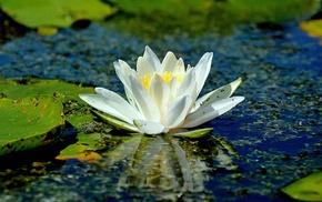 flowers, lotus flowers, lake