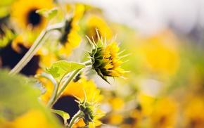 nature, plants, flowers, sunflowers