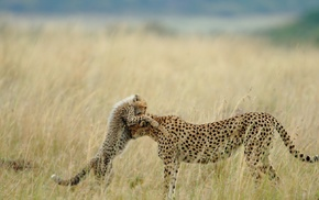 cheetahs, cubs, animals, baby animals