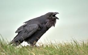 crow, birds, animals