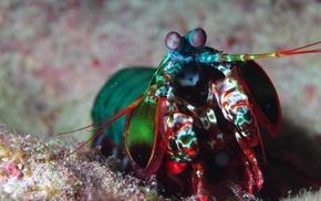 animals, mantis shrimp