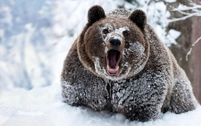 snow, bears, animals