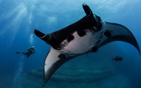 underwater, animals, manta rays, divers