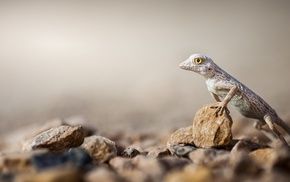 lizards, macro, animals