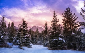 pine trees, Canada, Alberta, landscape, snow, winter