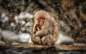 snow, monkeys