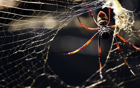 spider, macro, animals