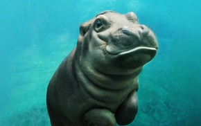 animals, mammals, hippos, baby animals