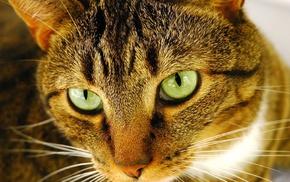 cat, animals, closeup