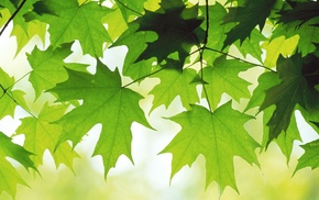 leaves, drawing, maple leaves, green