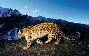 snow leopard, landscape, nature, leopard animal, animals, mountains