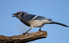 blue jays, animals, birds, nature