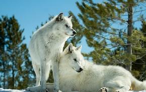 nature, animals, wolf