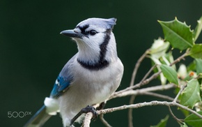animals, photography, blue jays, birds