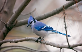 animals, nature, birds, photography, blue jays