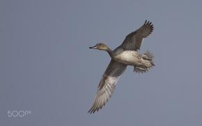 duck, photography, animals, birds