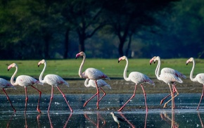 flamingos, birds, photography, animals