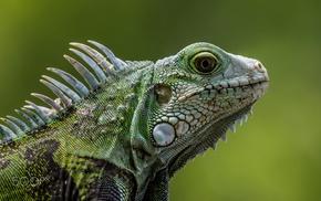reptiles, photography, animals, iguana
