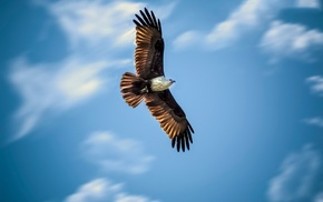 birds, animals, bald eagle