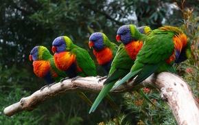 animals, birds, parrot, lorikeet