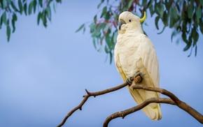 Sulphur, crested cockatoo, parrot, birds, animals, cockatoo