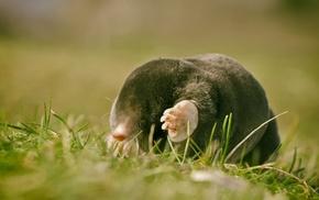 animals, mole