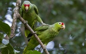 parrot, animals, birds