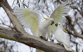 parrot, cockatoo, birds, Sulphur, crested cockatoo, animals