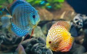 Discus Fish, animals, fish