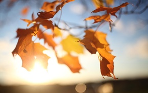 depth of field, photography, nature, leaves, plants, fall