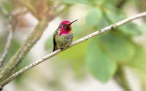 nature, photography, birds, animals, hummingbirds