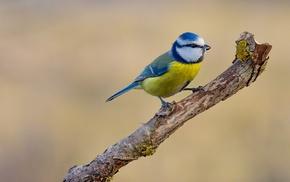 nature, photography, birds, titmouse, animals