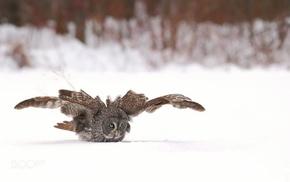 birds, photography, owl, animals, snow